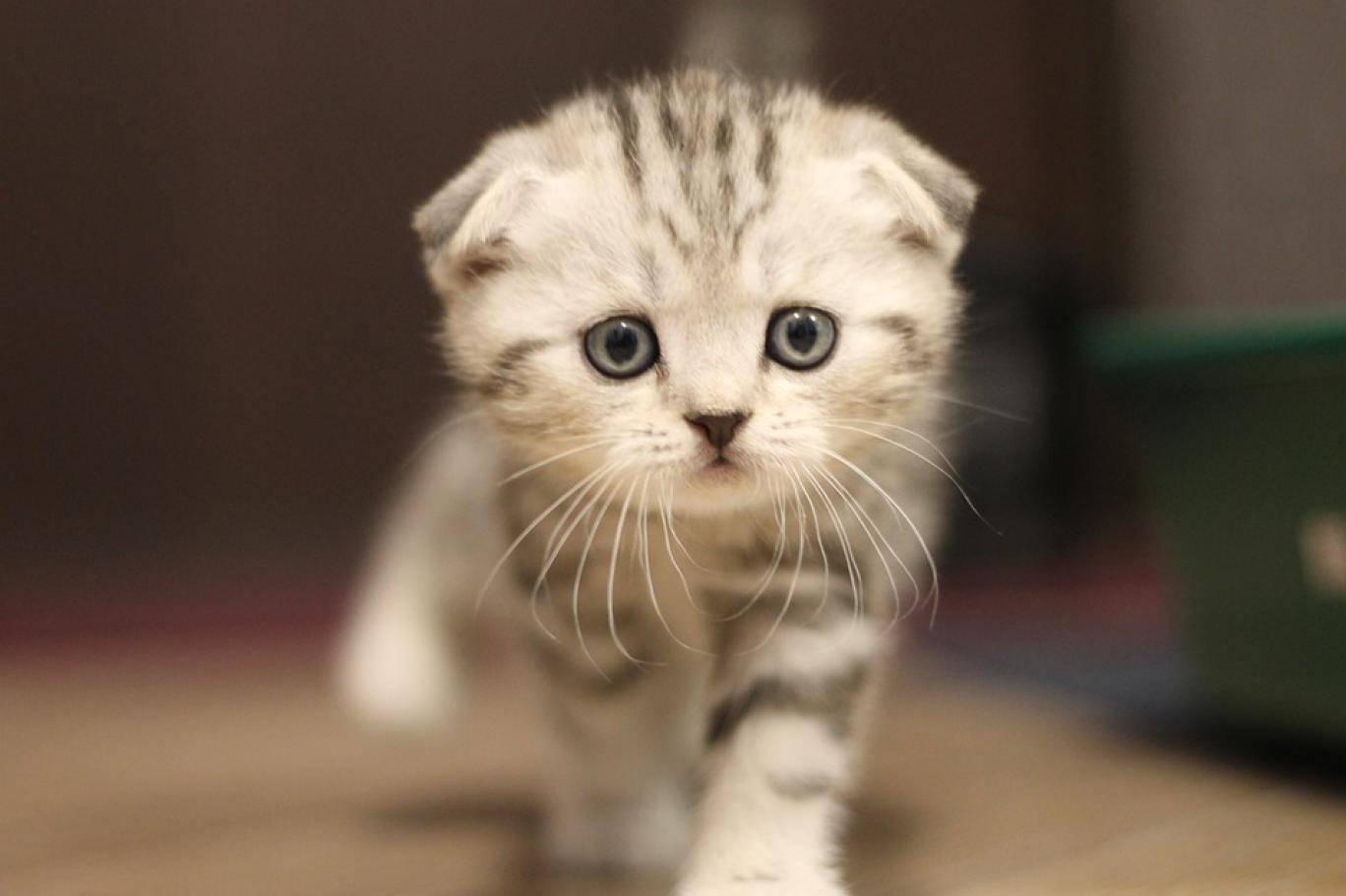 Yeni araştırmaya göre yumuk yüzlü cins kediler duygularını ifade edemiyor | Independent Türkçe