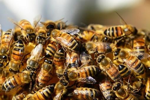 bal arıları - pixabay.jpg