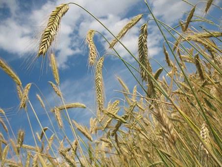 Buğday başağı - Pixabay.jpg