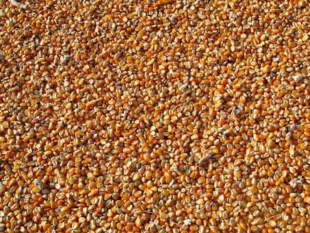 mısır tohumu - pixabay.jpg