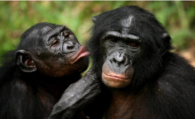 şempanze.png