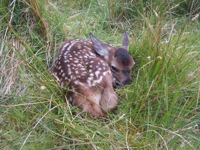 red-deer-calf-rum.jpg