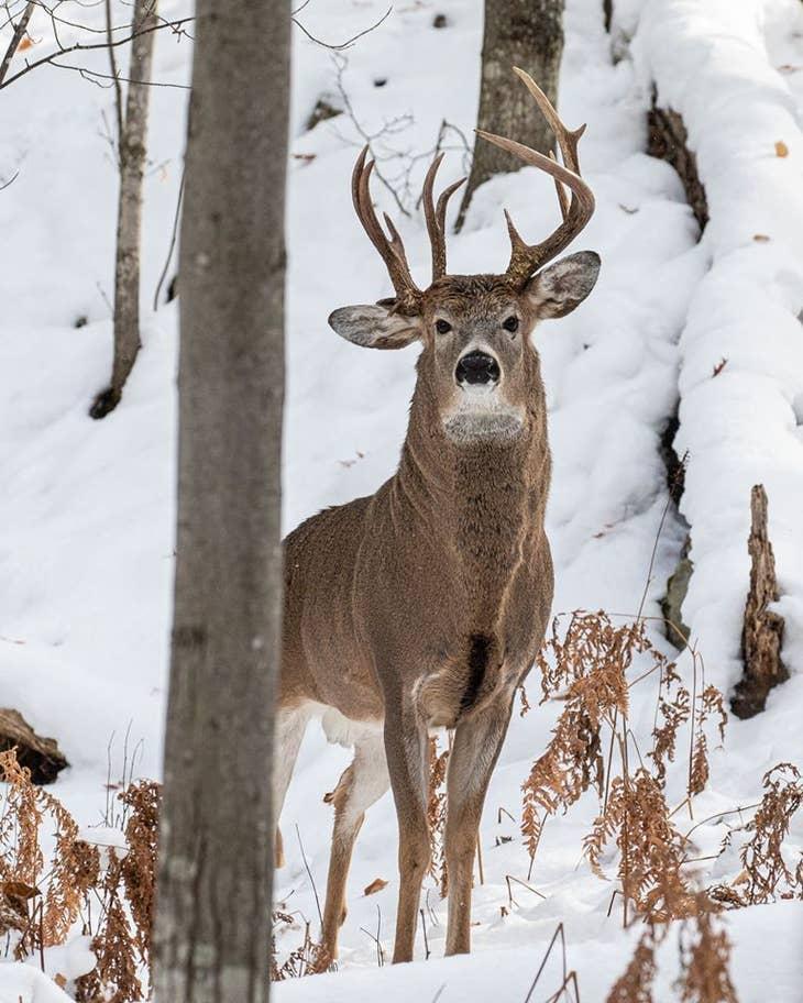 three-antler-deer.jpg