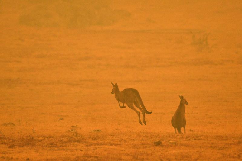 Kangurular AFP.jpg