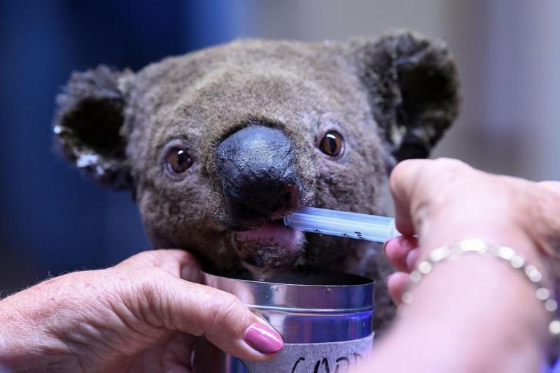 Koala Avustralya AFP.jpg