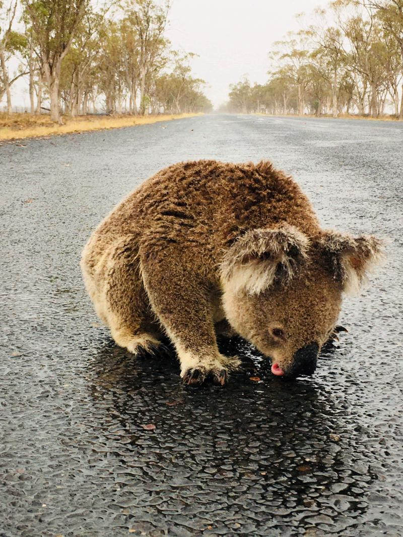 koala reuters