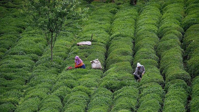 çay hasatı aa.jpg