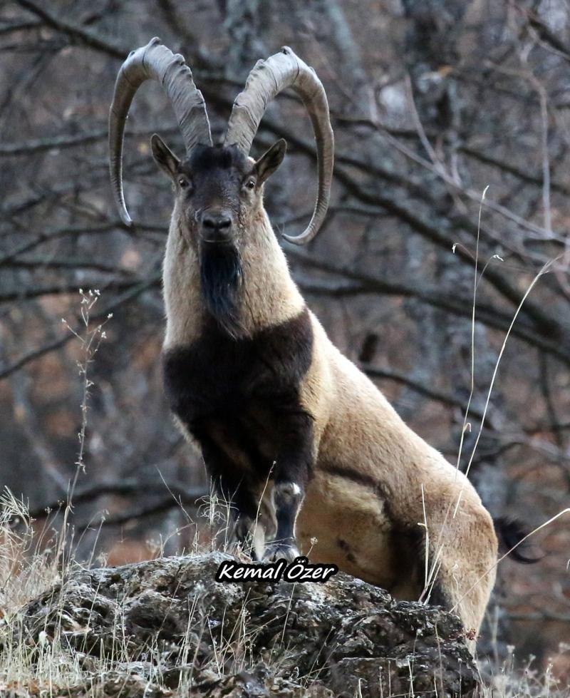 dağ keçileri  (1).jpg