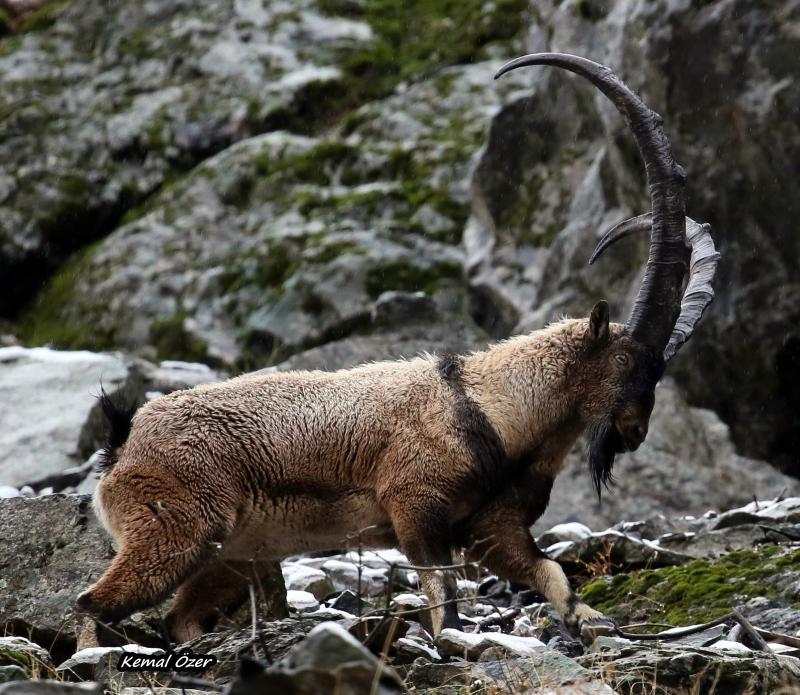 dağ keçileri  (3).jpg