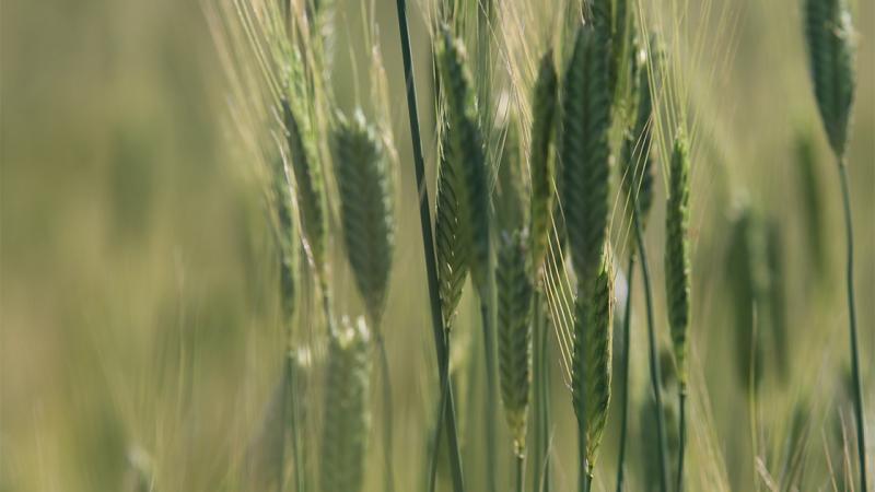 siyez buğdayı aa.jpg