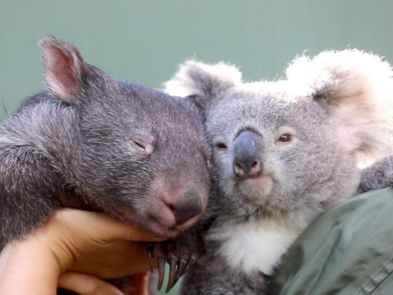 Vombat ve Koala.jpg