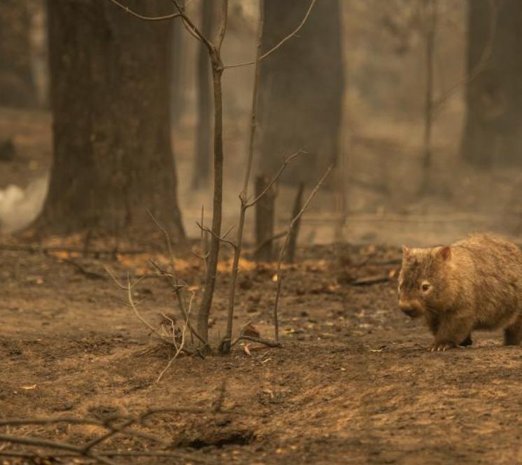 vombat yangın foto Simon McGill.PNG