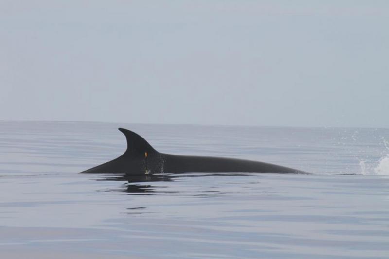 Orka olarak da bilinen katil balinalar, okyanus yunusları ailesinin en iri üyesi (Unsplash).jpg