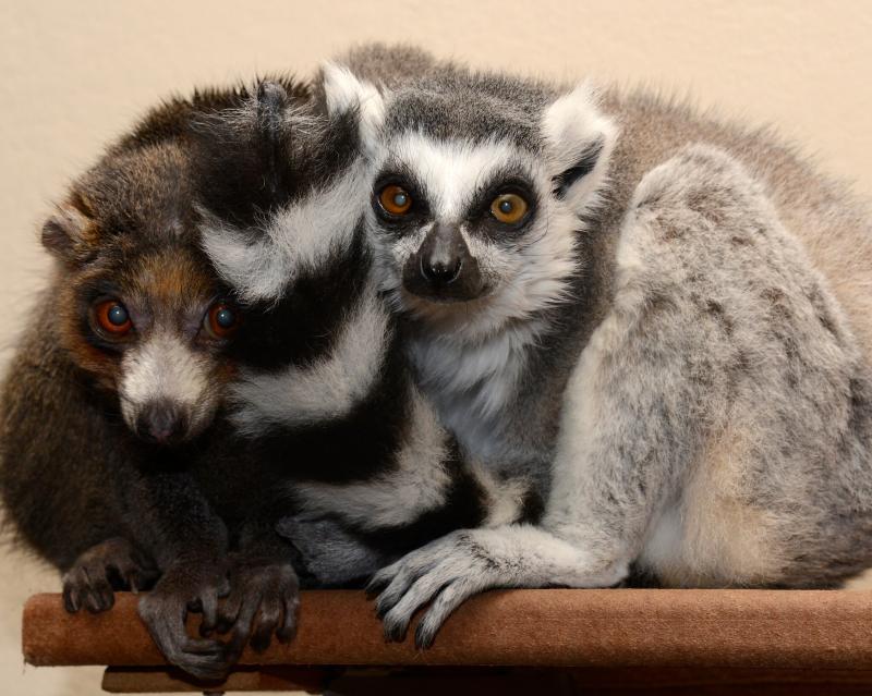 lemur 4.jpg