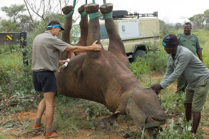Rhino Hanging Upside Down_RobinRadcliffe.jpg