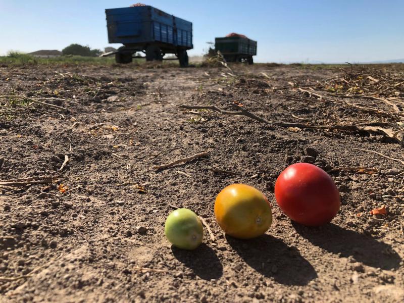 tarım fotoğraf: gökçen tuncer domates