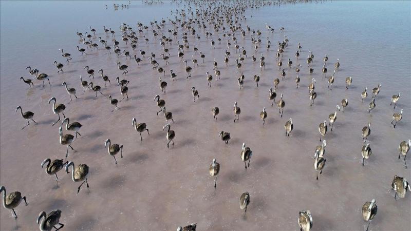flamingo yavru AA arşiv