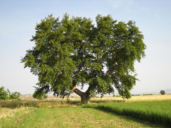 Çınar ağacı.jpg