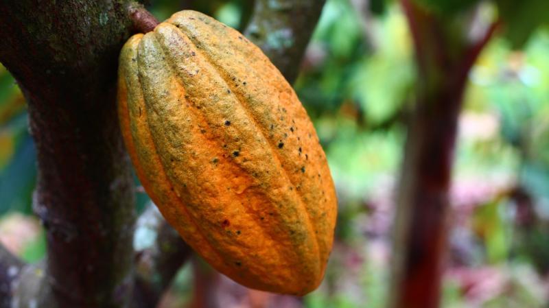kakao (pixabay).jpg