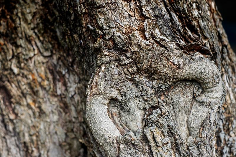 zeytin ağacı pixabay