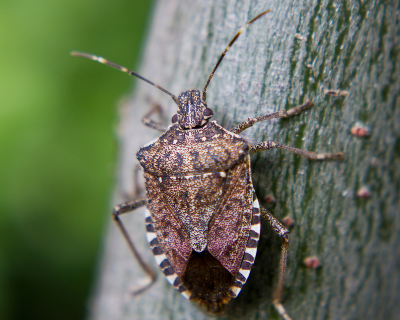 Brwon-Marmorated-Stink-Bug-1-1144x914.png