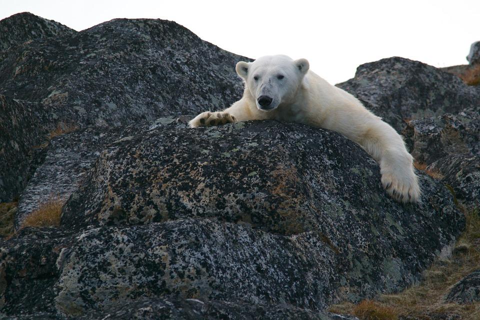 küresel ısınma ve kutup ayısı.jpg