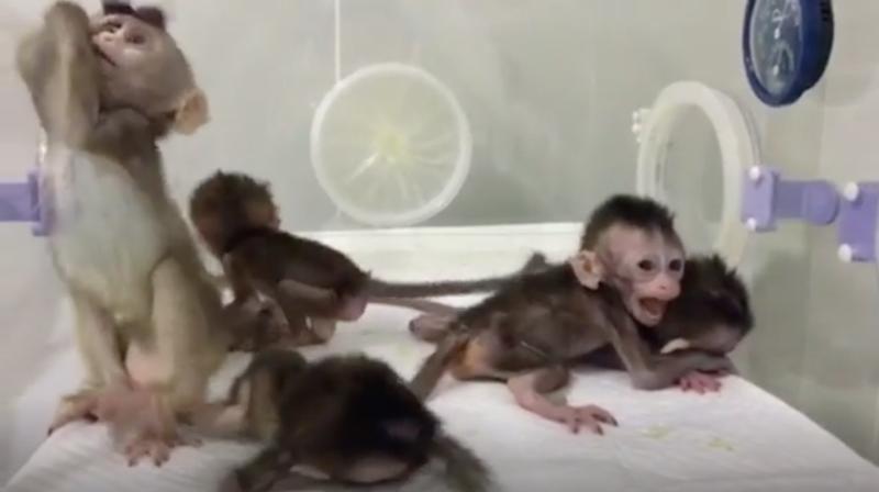 Genetiği değiştirilen maymunlar