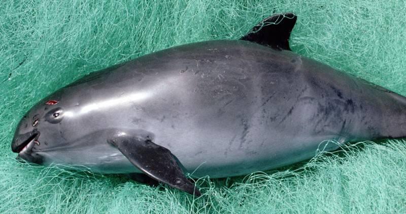 dead-vaquita-porpoise.jpg