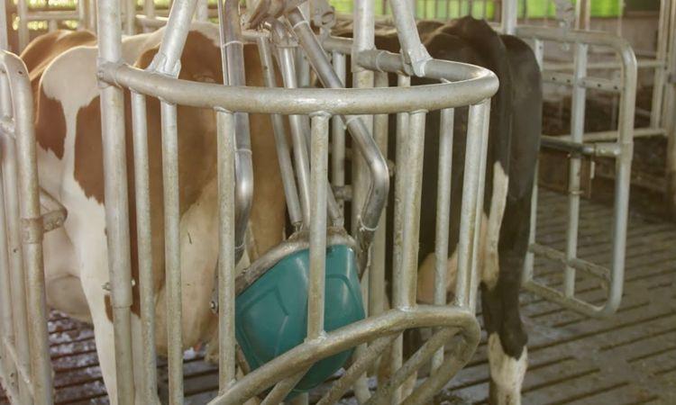 cow-toilet.jpg