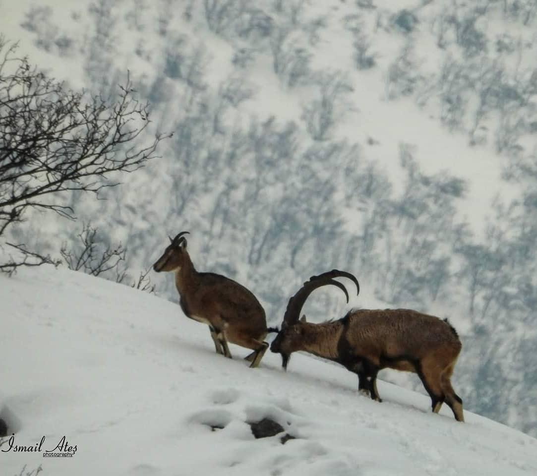 dag keçileri dersim.jpg