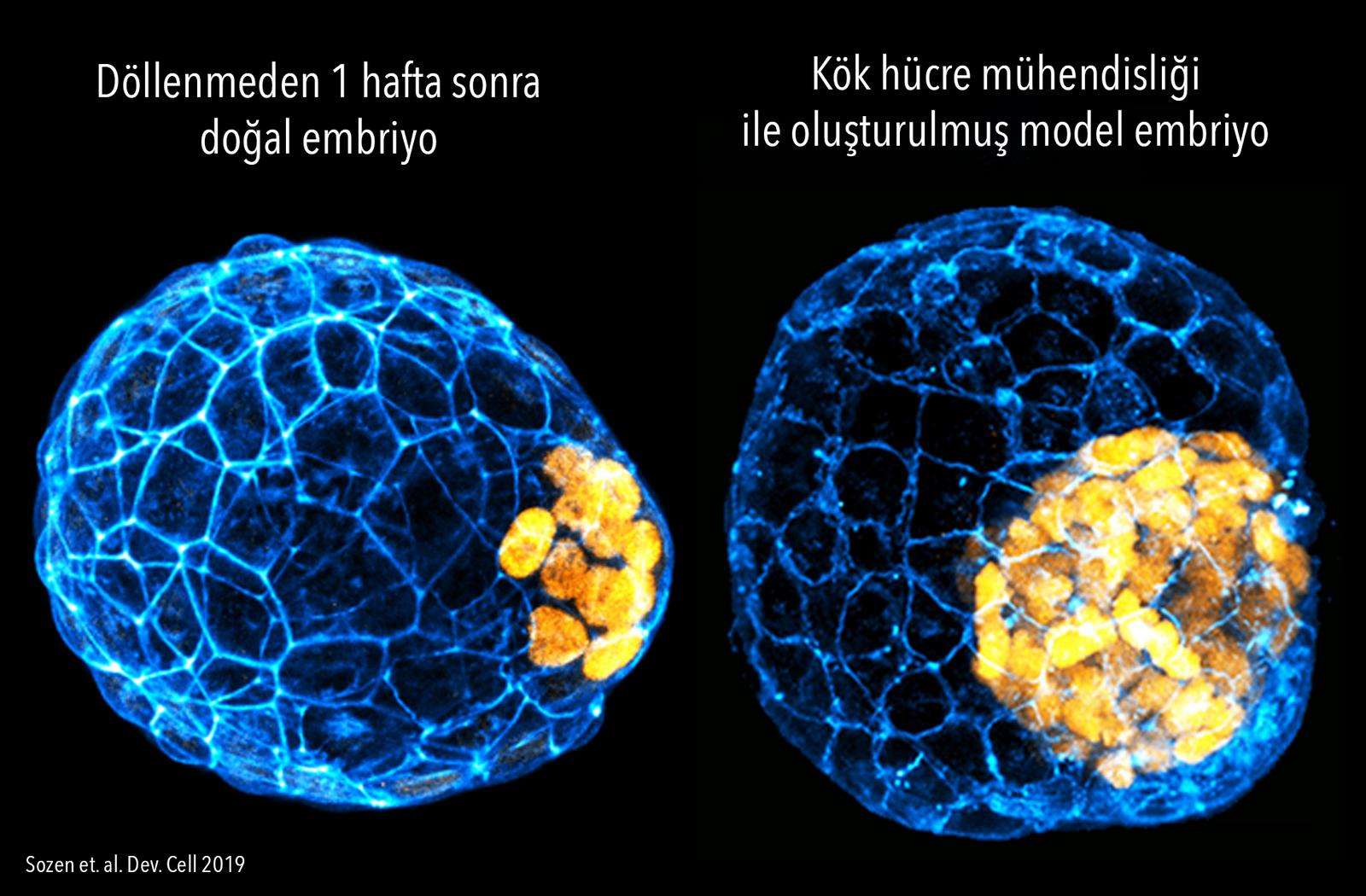 blastoid vs blastocyst.jpg