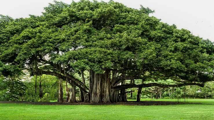 Ağaç kültü.jpg