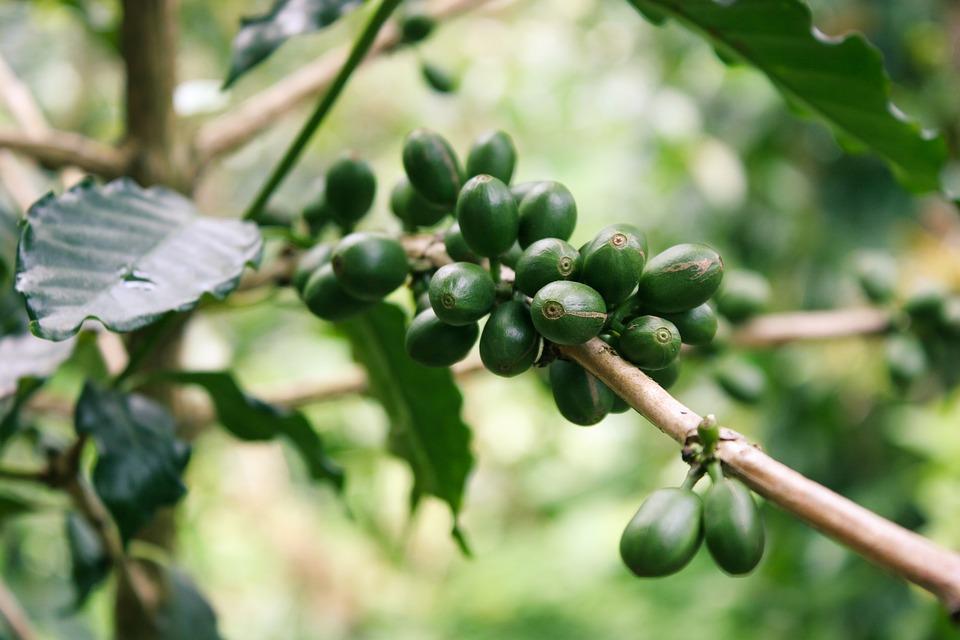 kahve ağacı.jpg