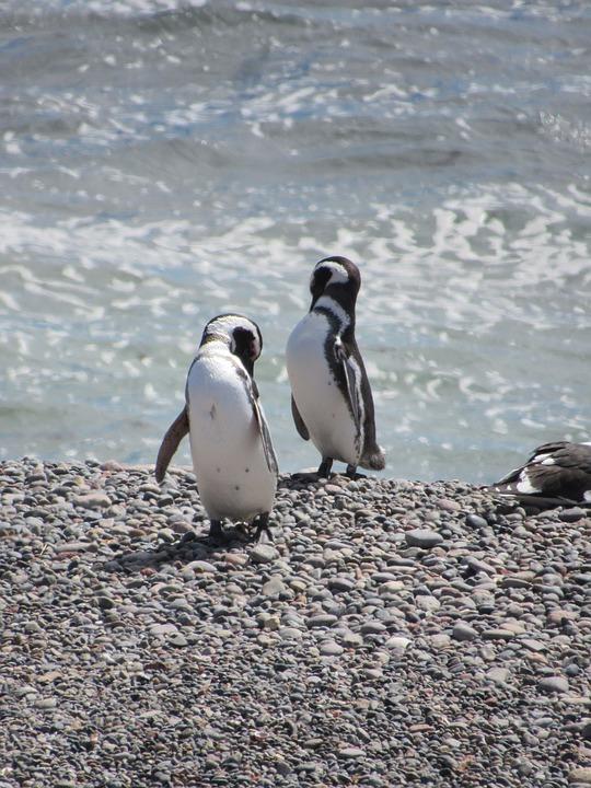 macellan pengueni2.jpg